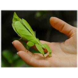Phasme - Phyllium philippinicum