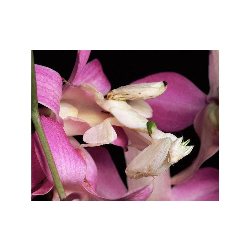 Mante religieuse - Hymenopus coronatus
