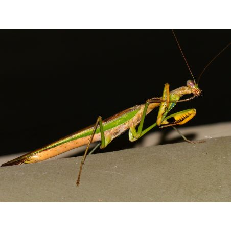 Mante religieuse - Polyspilota aeruginosa