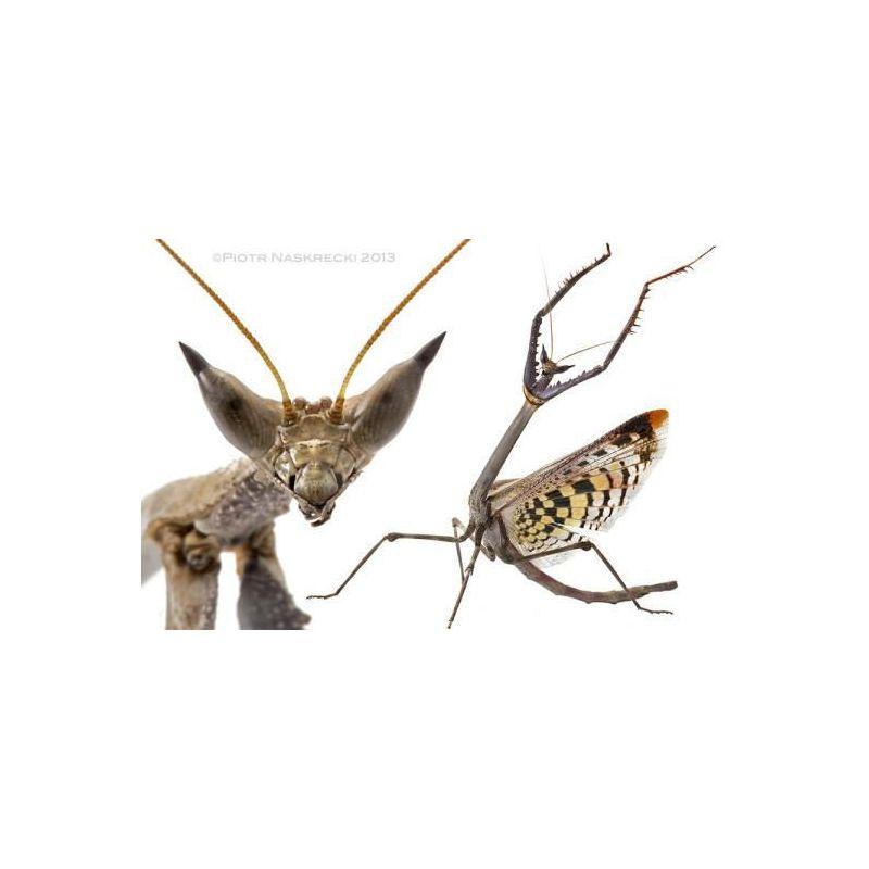Mante religieuse - Heterochaeta orientalis