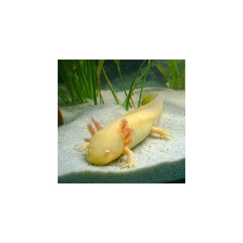 Axololt - Ambystoma mexicanum - Gold (jaune aux yeux rouge)
