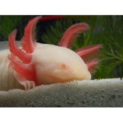 Axololt - Ambystoma mexicanum - Peony (blanc aux yeux rouge)