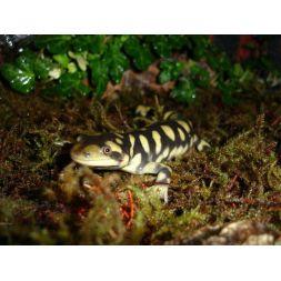 Salamandre tigrée - Ambystoma tigrinum à 49,92€ sur Barf-Food-France