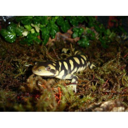 Salamandre tigrée - Ambystoma tigrinum