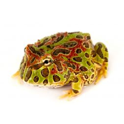 Pacman - Ceratophrys ornata red