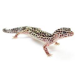 Gecko leopard - Eublepharis macularius Sub/Adulte Mutation + coloré