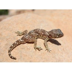 Stenodactyle commun - Stenodactylus sthenodactylus