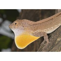 Couple anole à crête de Cuba - Anolis cristatellus à 49,92 € sur Barf-Food-France