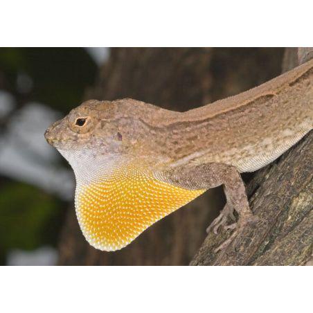 Couple anole à crête de Cuba - Anolis cristatellus
