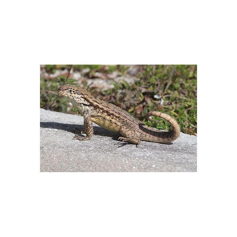 Iguane à queue courbée - Leiocephalus carinatus