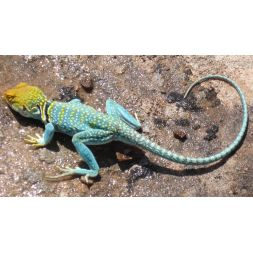 Lézard à collier - Crotaphytus collaris à 83,25 € sur Barf-Food-France