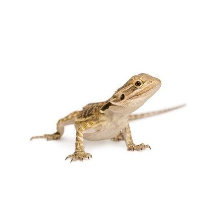 Dragon barbu - Pogona vitticeps classique à 37,42 € sur Barf-Food-France