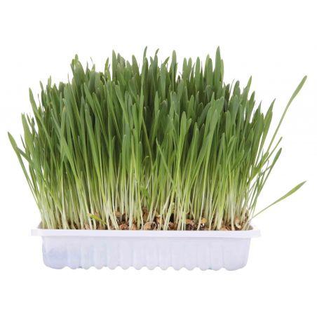 Bac d'herbe à chat : bol/env. 100 g