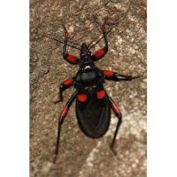 "Boite de 5 petits Platymeris cf. guttatipennis ""Kenia"""