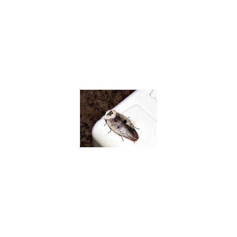Boite de 10 petites Gyna caffrorum