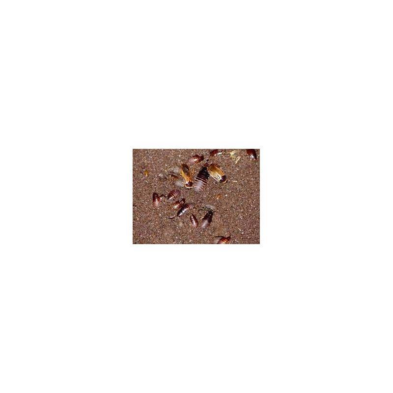 "Boite de +/- 100 Pycnoscelus indicus ""Thailand"" (+/- 10g)"