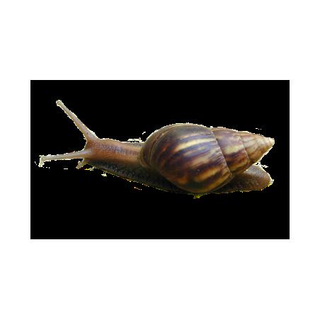 Escargot géant d'Afrique Petit 0 - 3 cm - Lissachatina fulica