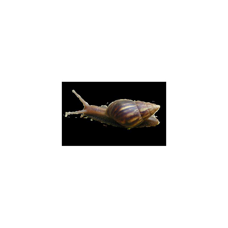 Escargot géant d'Afrique Moyen 3 - 6 cm - Lissachatina fulica à 3,33€ sur Barf-Food-France