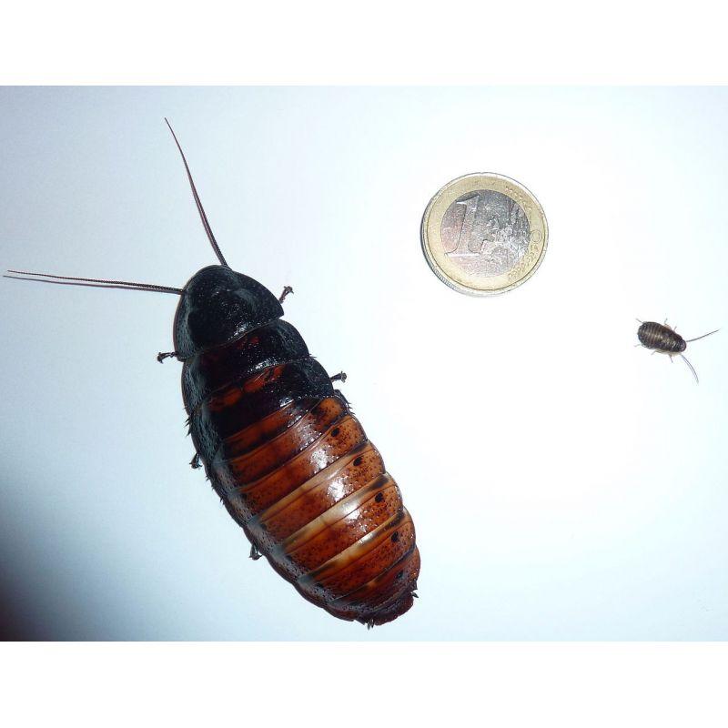 Boite de 100 Blattes géante de Madagascar,  (gromphadorhina portentosa) de 40 à 80 mm à 83,33€ sur Barf-Food-France
